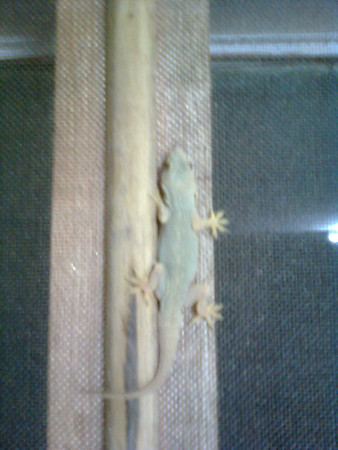 Gecko (wall-lizard) on the window-frame